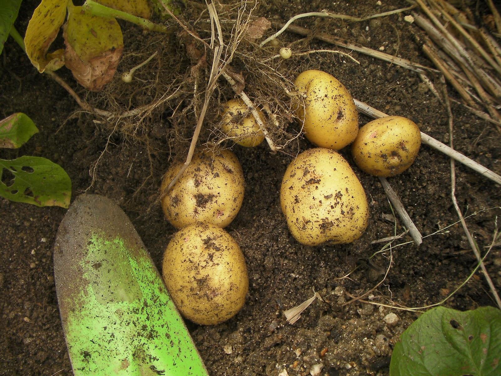 Small vege garden in a suburb: Harvesting potatoes in a rainy season