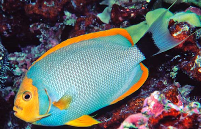 Canada stock journal world 39 s most expensive tropical fish for Most expensive aquarium fish