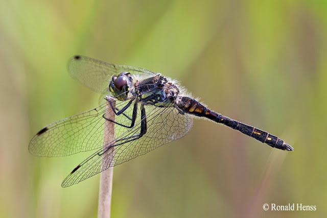 Libellen - Schwarze Heidelibelle - Libellenfotos