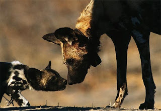 female african painted dog kissing her baby