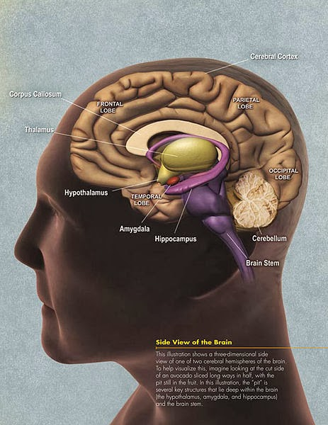 Human Brain showing important structures