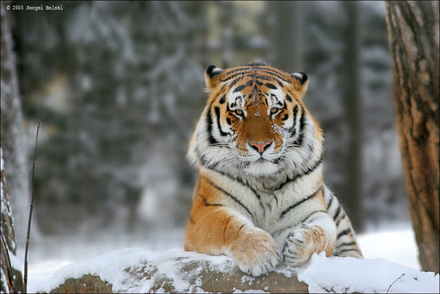 Tiger in Snow Zoo