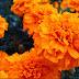 La flor de Cempoalxóchitl: breve historia