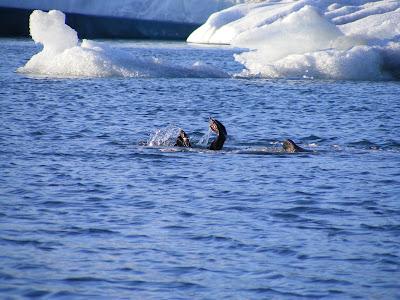 Foca la Laguna de gheata Jokulsarlon, Islanda