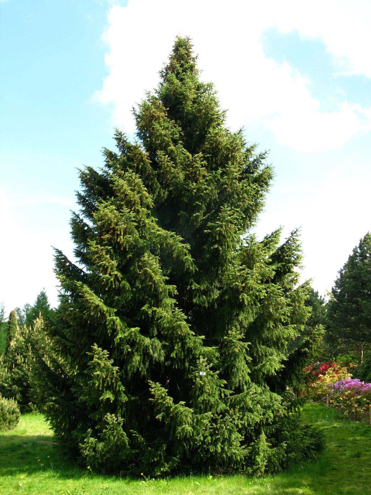 Arte y jardiner a coniferas caracter sticas variedades for Variedades de pinos para jardin