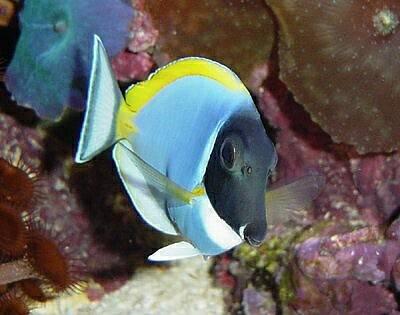 Powder Blue Tang | Animal Unique