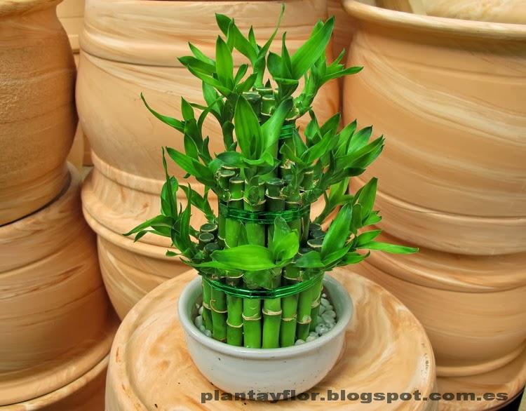 Plantas y flores dracaena sanderiana for Piedrecillas para jardin