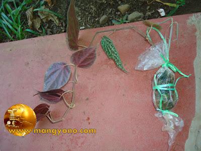 FOTO 2: Cangkokan sirih merah sudah di potong dari batang indukan