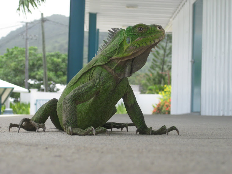 Male Iguana on Campus