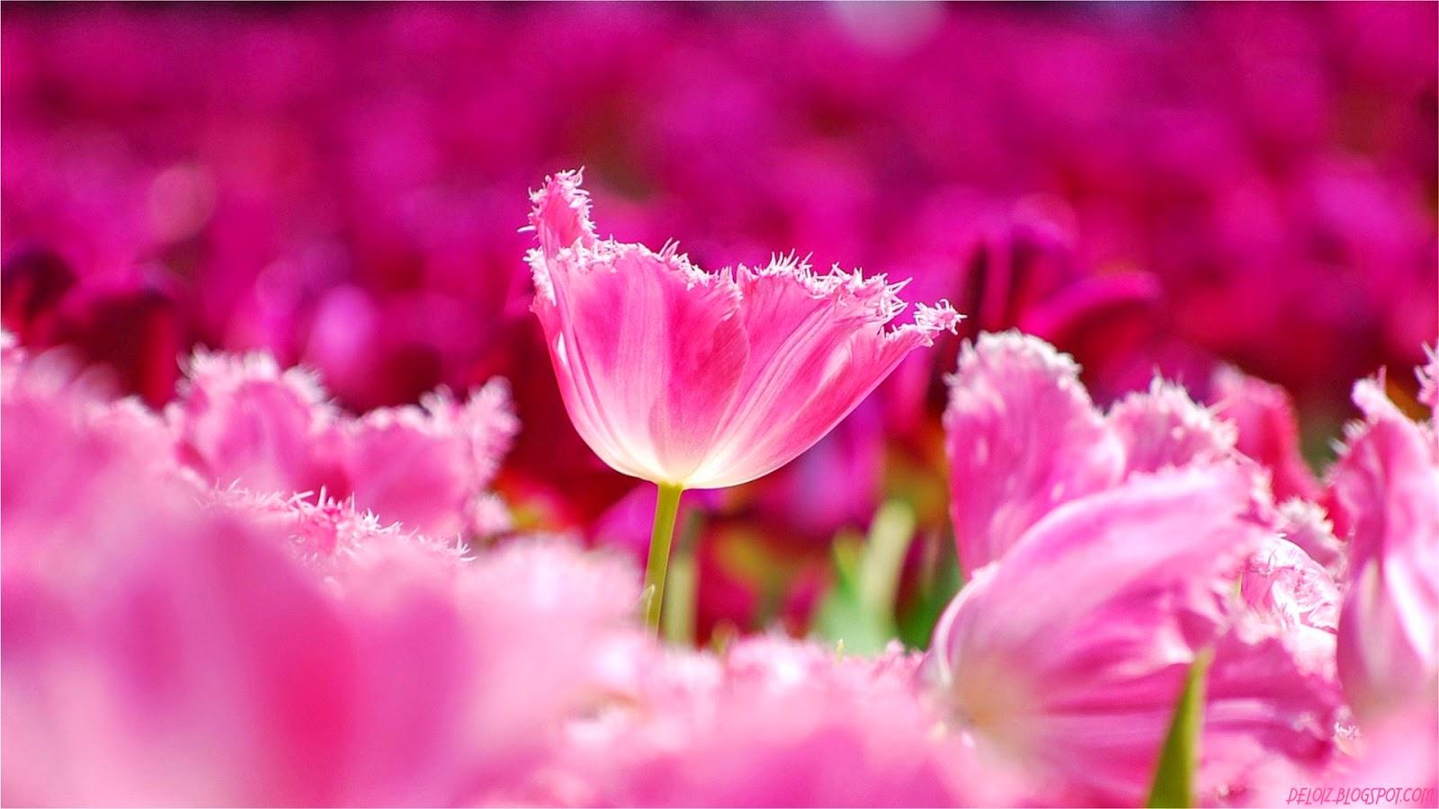 Get Hd Wallpaper Wallpaper Bunga Tulip Pink