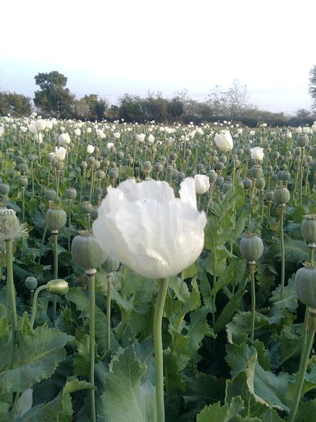 white+flower
