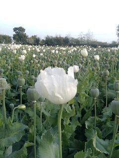 white flower opium