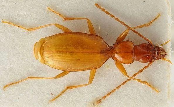 Hitler's Beetle (Anophthalmus hitleri)