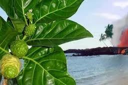 Manfaat Daun Mengkudu ( Morinda Citrifolia )Bagi Kesehatan Kita