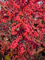 American Winterberry (Ilex verticillata)