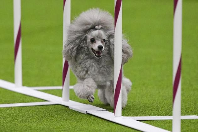 Lucunya Para Anjing dikompetisi WK Club Dog Show