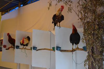 Gambar Ayam Jago