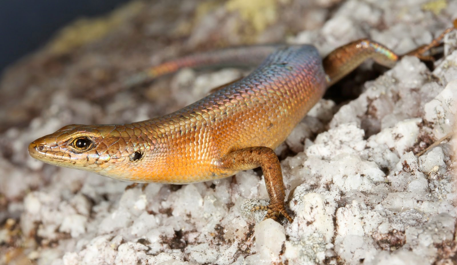 http://sciencythoughts.blogspot.co.uk/2014/10/a-new-species-of-skink-from-cape.html