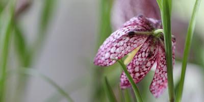 vibeæg, fritillaria meleagris