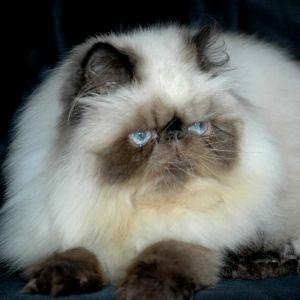 Gambar Kucing Persia Himalaya liat kiri