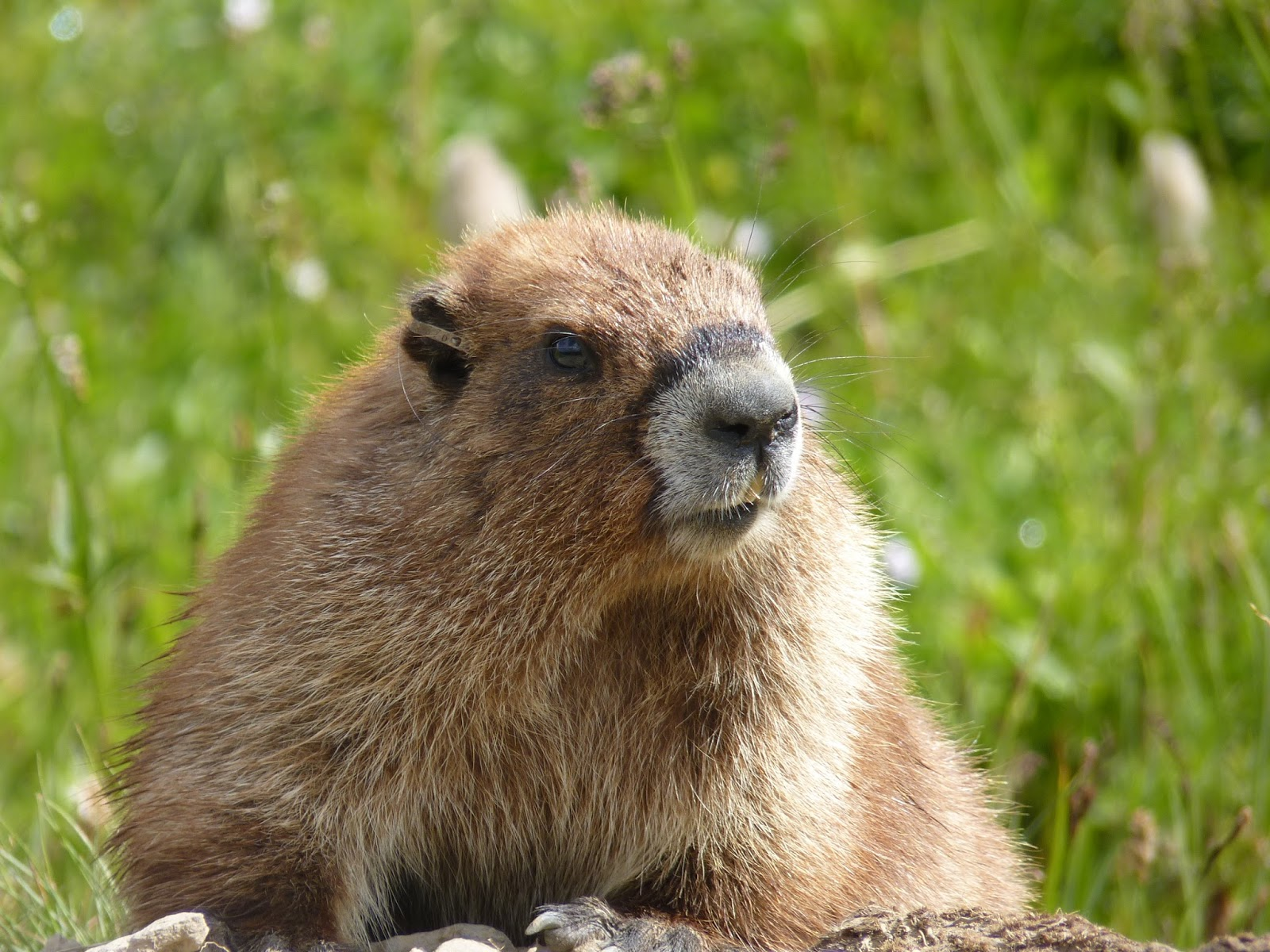Where Is The Vancouver Island Marmot Located