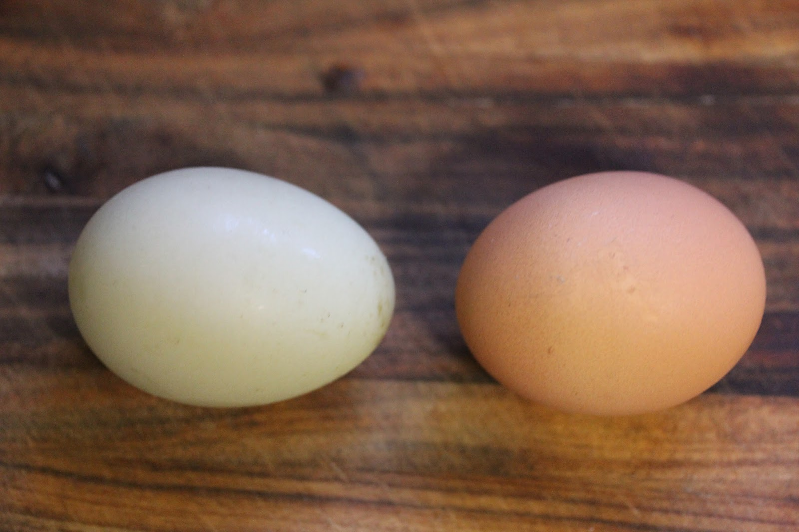 bek u0027s backyard duck egg vs chicken egg the taste off