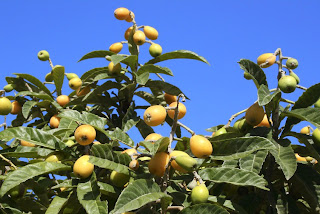 growing loquat
