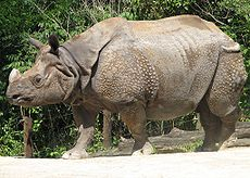Great Asian One-Horned Rhino
