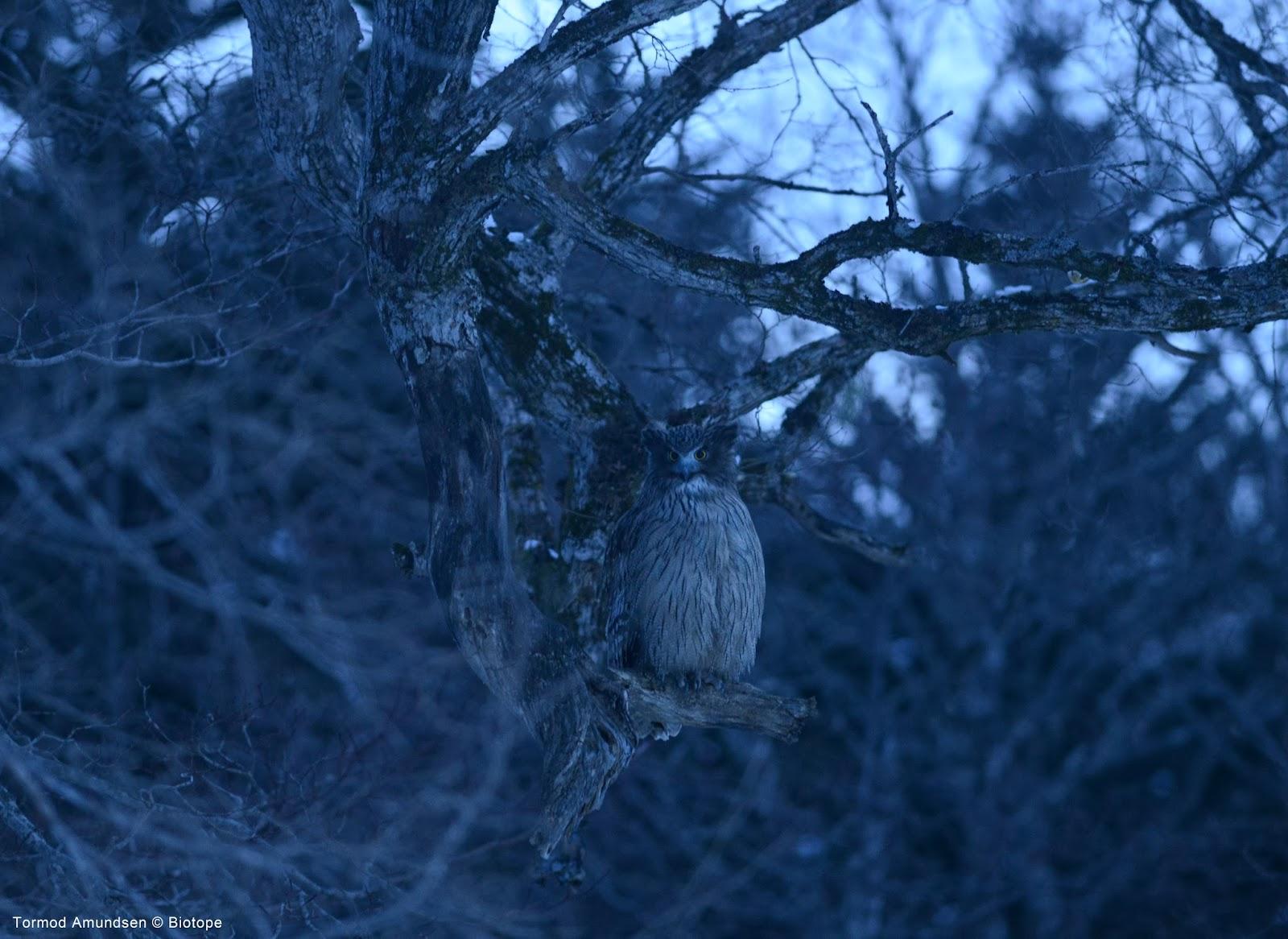 Biotope Birding Japan Hokkaido In Winter Giant Atx Se 2 2014 S Blue Wht Gry