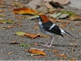Burung Anis Kembang,Bakalan Burung Anis Kembang,Anis merah