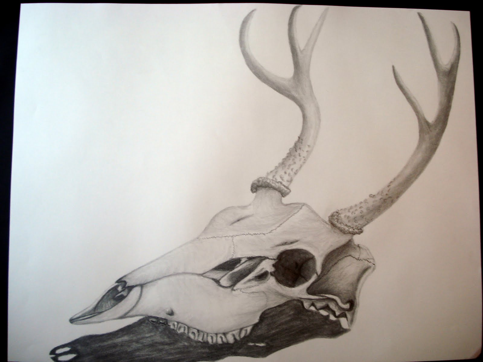 Antelope Skull Drawing Deer Skull Graphite Drawing