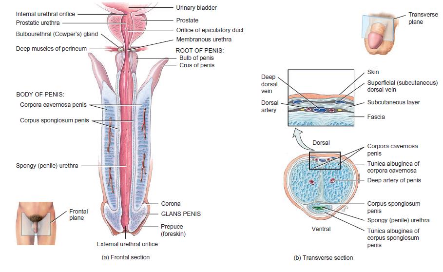 In die vagina ejakulieren