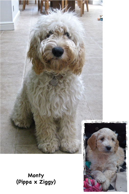 Jukee Doodles Puppy To Adult