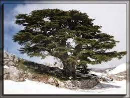 Flori 39 ange le messager 15 l 39 ange hariel du 1er au 5 juin - Cedre bleu du liban ...