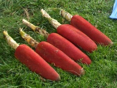 Jual Obat Herbal Kanker dari Buah Merah Papua