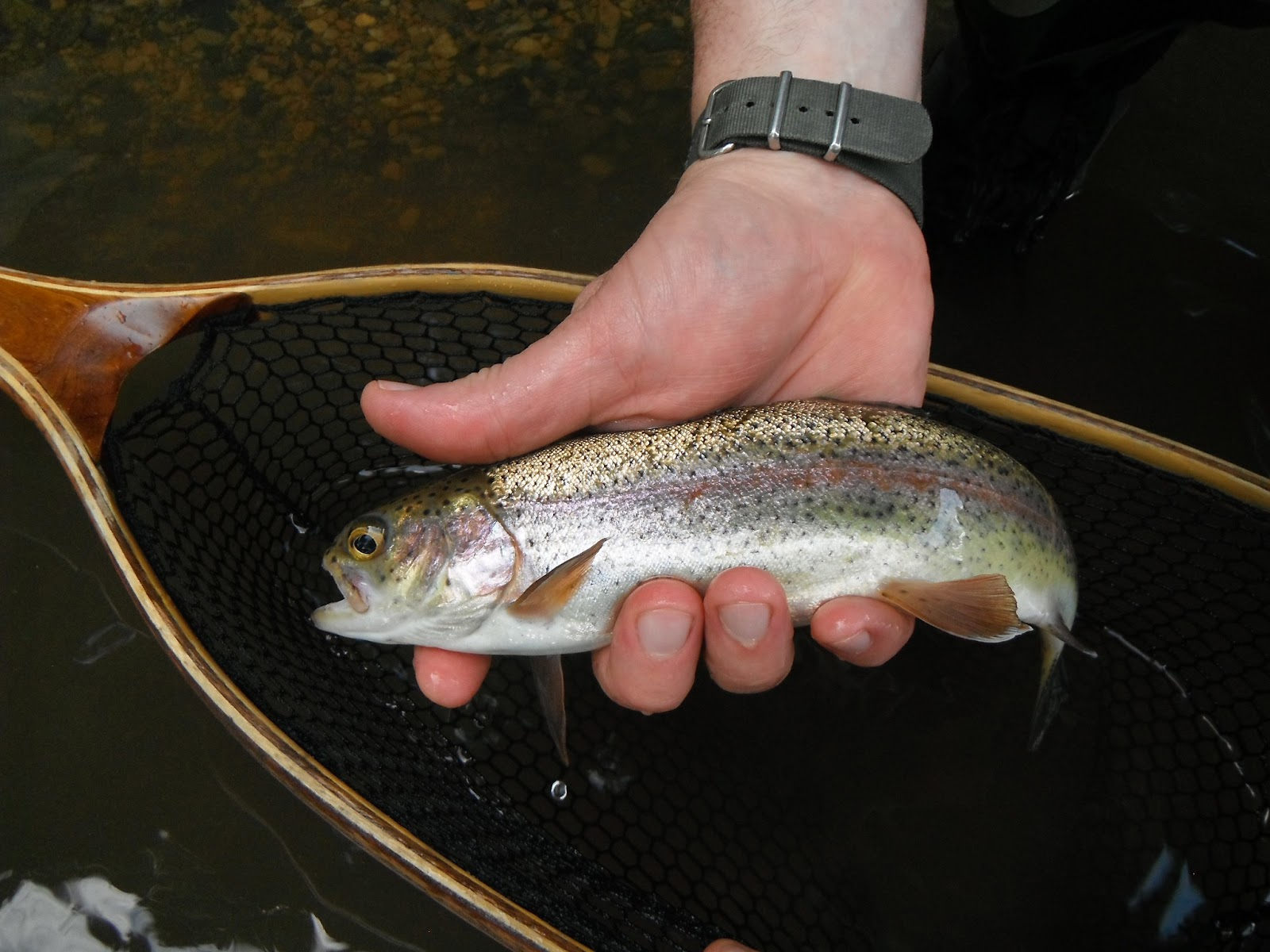 Western maryland fly fishing the state of western for Maryland state fish