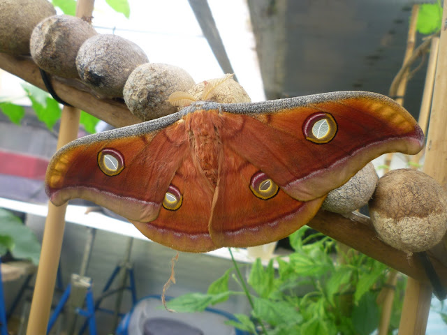 Eyed Hawkmoth via lovebirds vintage