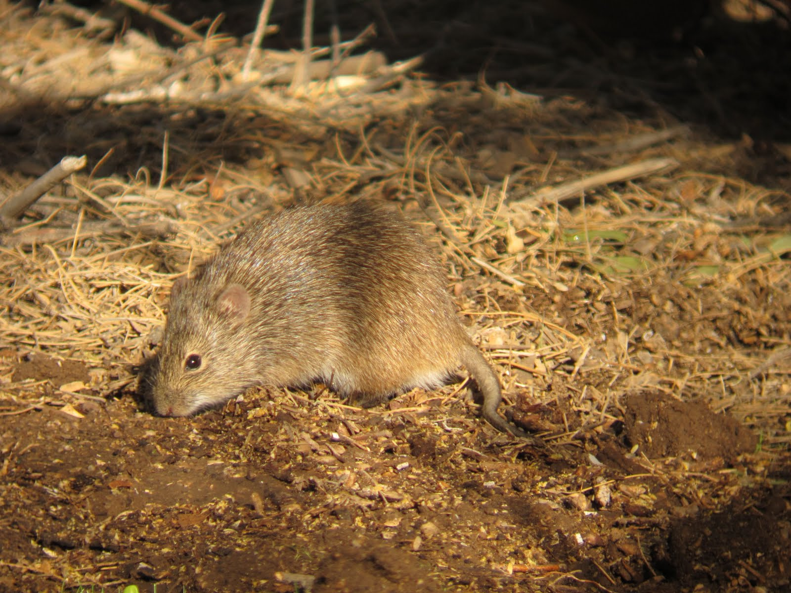 Birdernaturalist: A New Mammal for the Yard List – Arizona Cotton