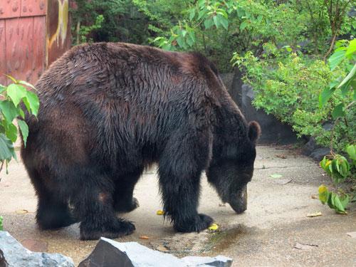 Yezo Brown Bear, Nagoya Zoo