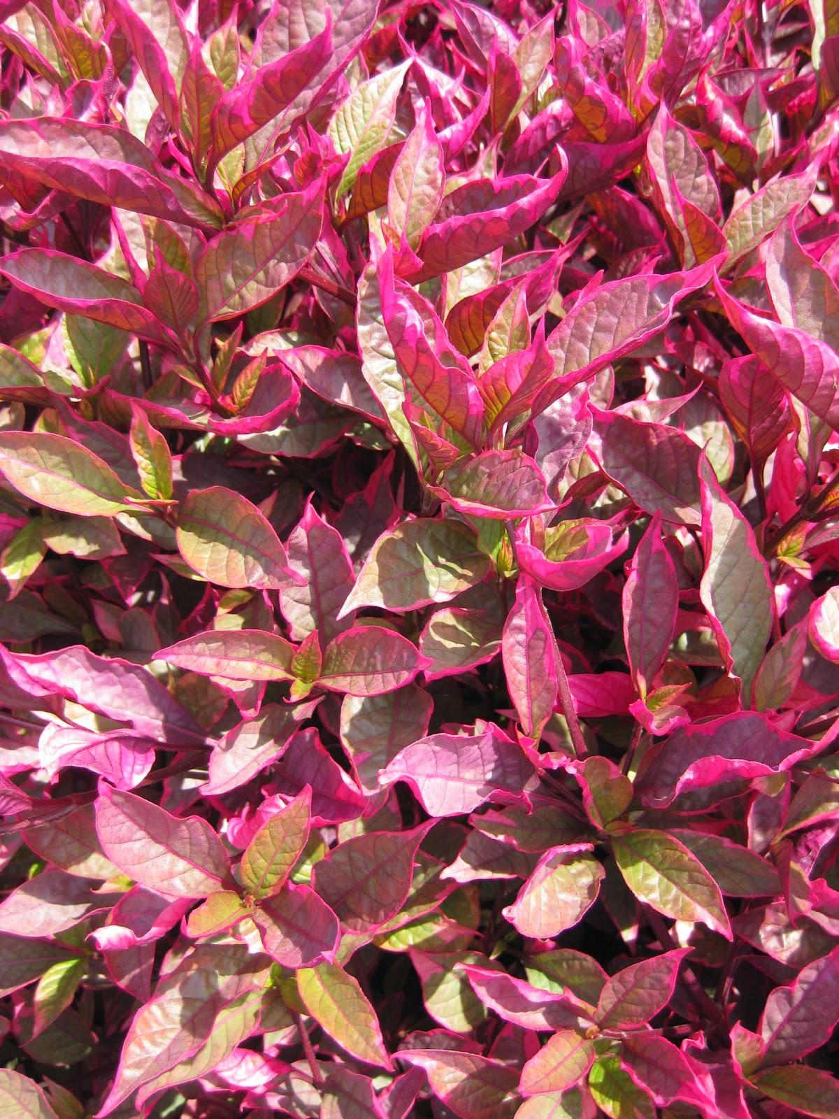 Awesome Alternantheras Rotary Botanical Gardens