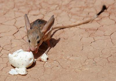 Pygmy Jerboa,Tikus yang Mirip Burung