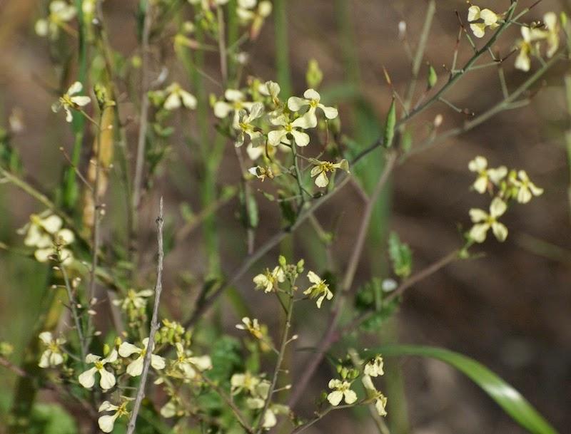 Sahara mustard (Brassica tournefortii)