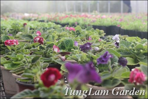 Tử la lan, hoa Tử la lan, hoa Hồng xiêm, hoa thượng tiễn, hoa Tai voi, hoa Tử linh lan