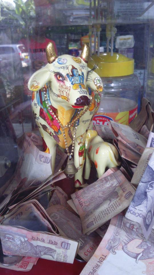 cow holy india collecting donation box