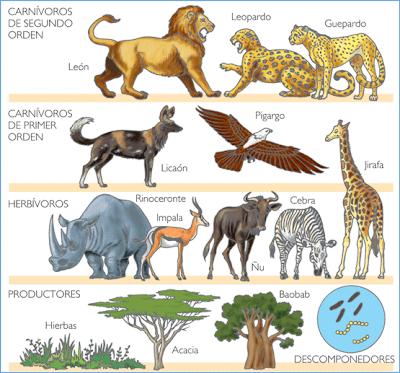 Niveles tróficos ( productores, consumidores, herbívoros, carnívoros de primer orden