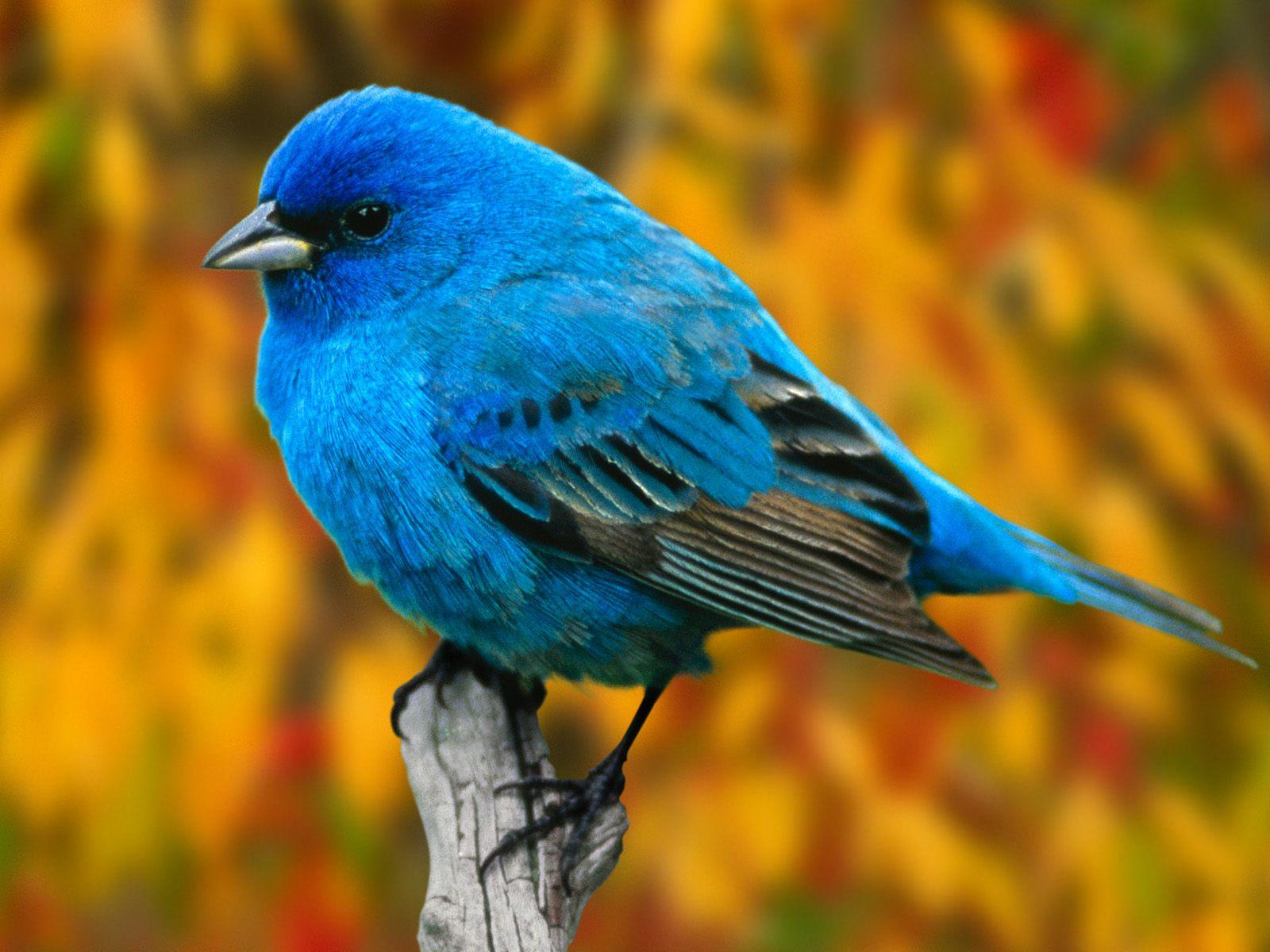 Halcones y demás aves Indigo%2BBunting