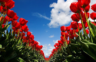 Tulipanes infinitos  Paisajes de flores
