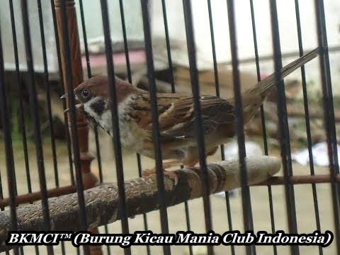 http://burungkicau-indonesia.blogspot.com/2014/11/cara-merawat-burung-gereja-agar-gacor-masteran.html