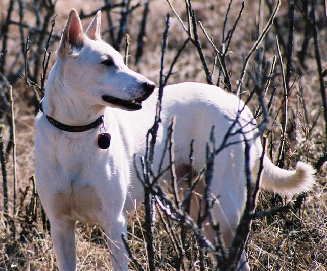 Dogs Facing Extinction is The Canaan Dog Facing