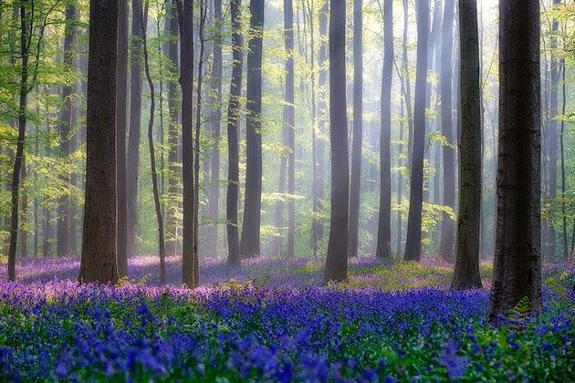 bluebell forest Belgium-1